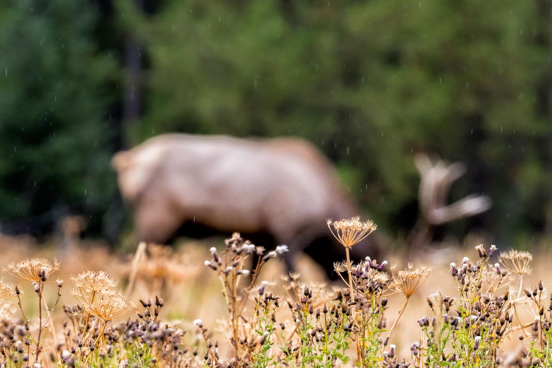 Elk in the Rain