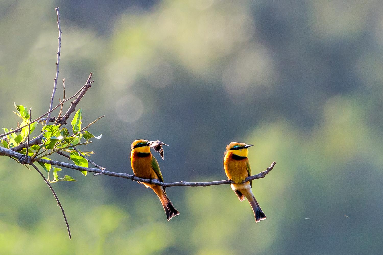 Little Bee-Eater Couple