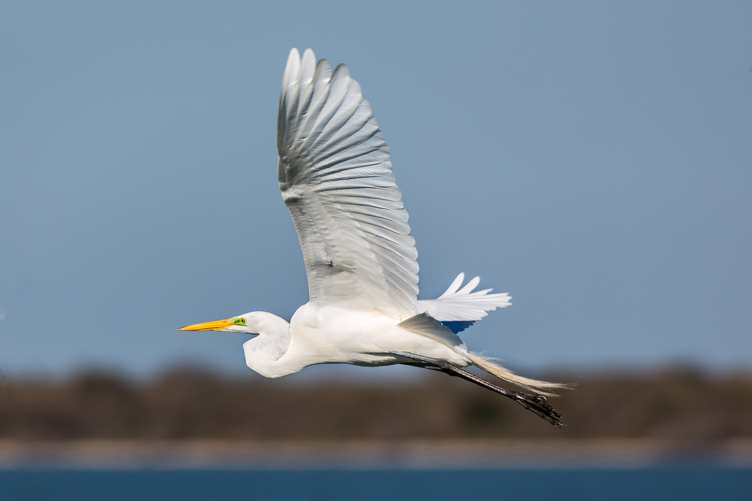 Flying Egret