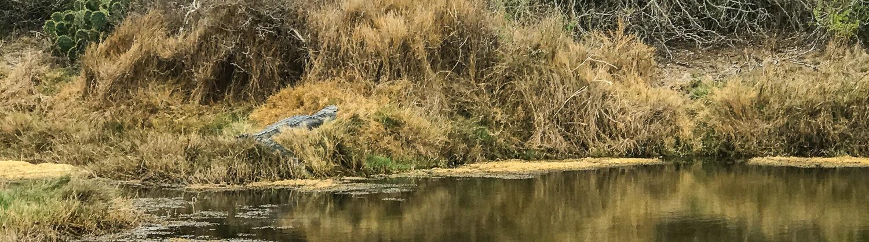 Gator at ANWR