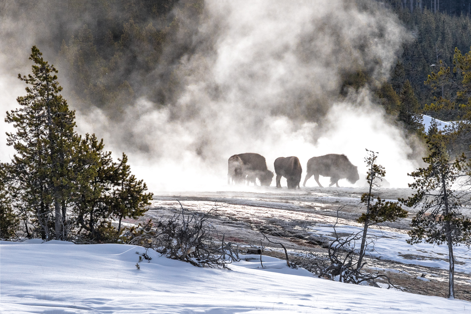 Bison Feeding in the Mist