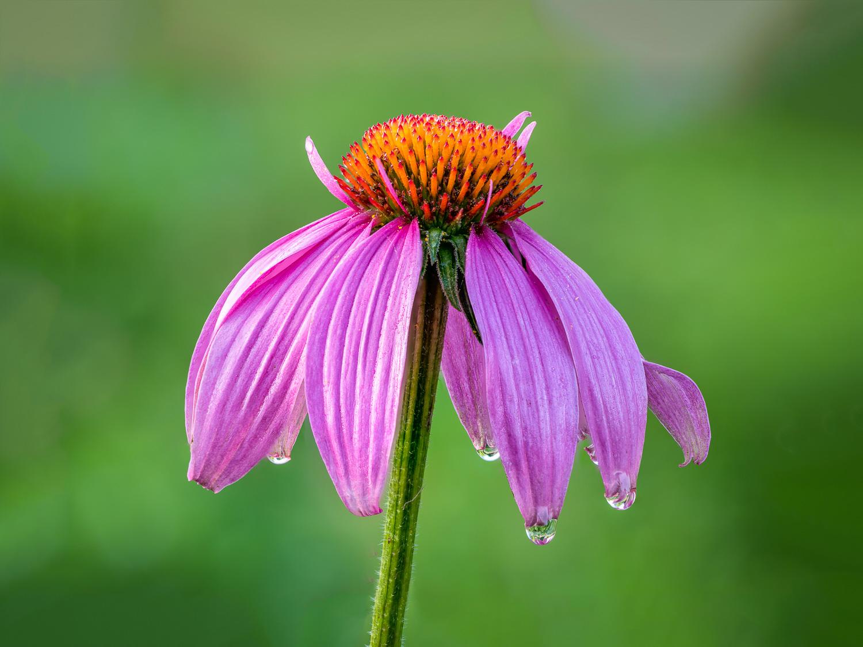 Dew on an Eastern Purple Coneflower