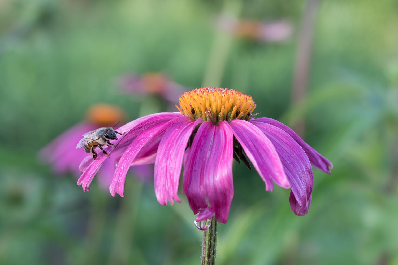 Coneflower Pollinator