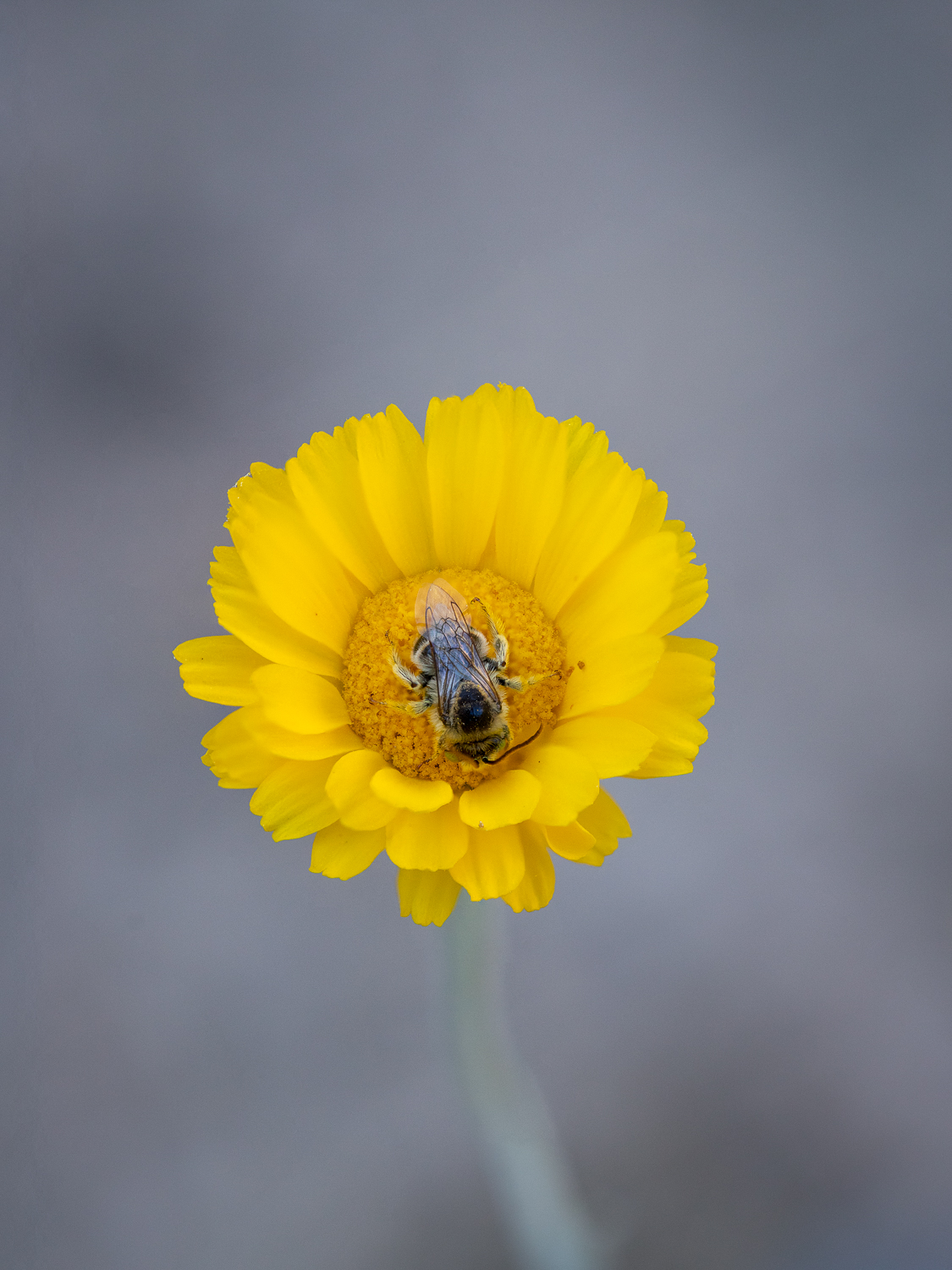 Desert Marigold with Bee