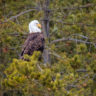 Lamar Valley Bald Eagle
