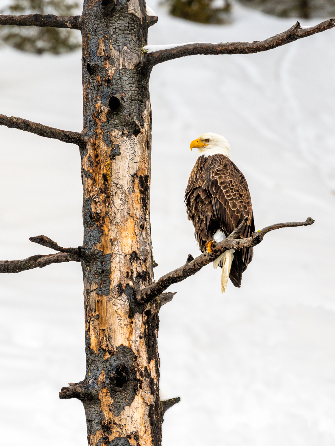 Yellowstone Bald Eagle