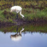 Whooping Crane Reflection